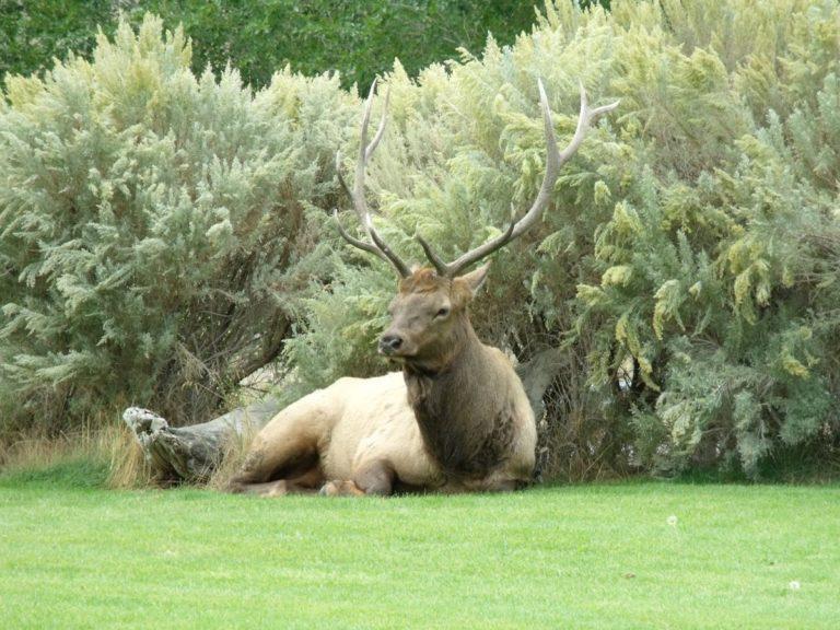 yellowstone-village-inn-elk